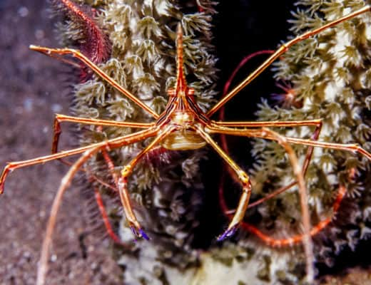How To Best Care For An Arrow Crab: Everything You Need To Know