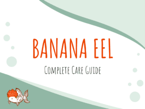 Ultimate Care Tips For Banana Eels