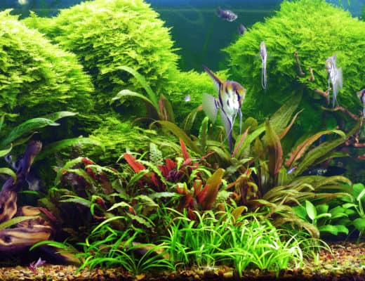 Jungle Val: Freshwater Aquatic Plant For All Fish