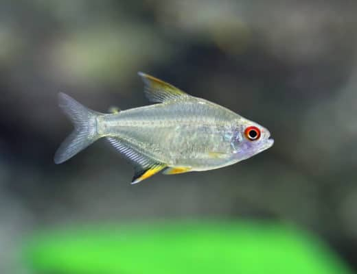 How To Care For The Brightly Colored Lemon Tetra