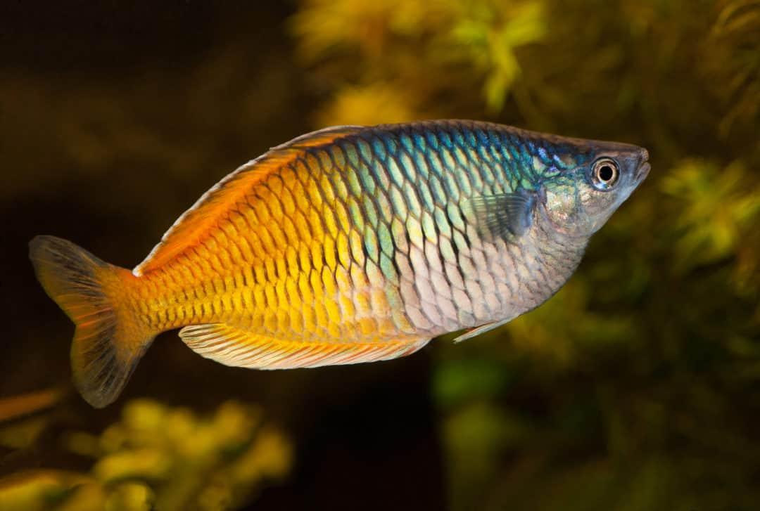 How To Spice Up An Aquarium With Australian Rainbowfish