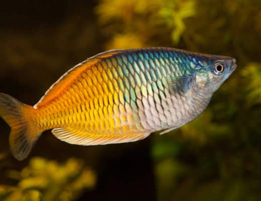 How To Spice Up An Aquarium With Australian Rainbowfish