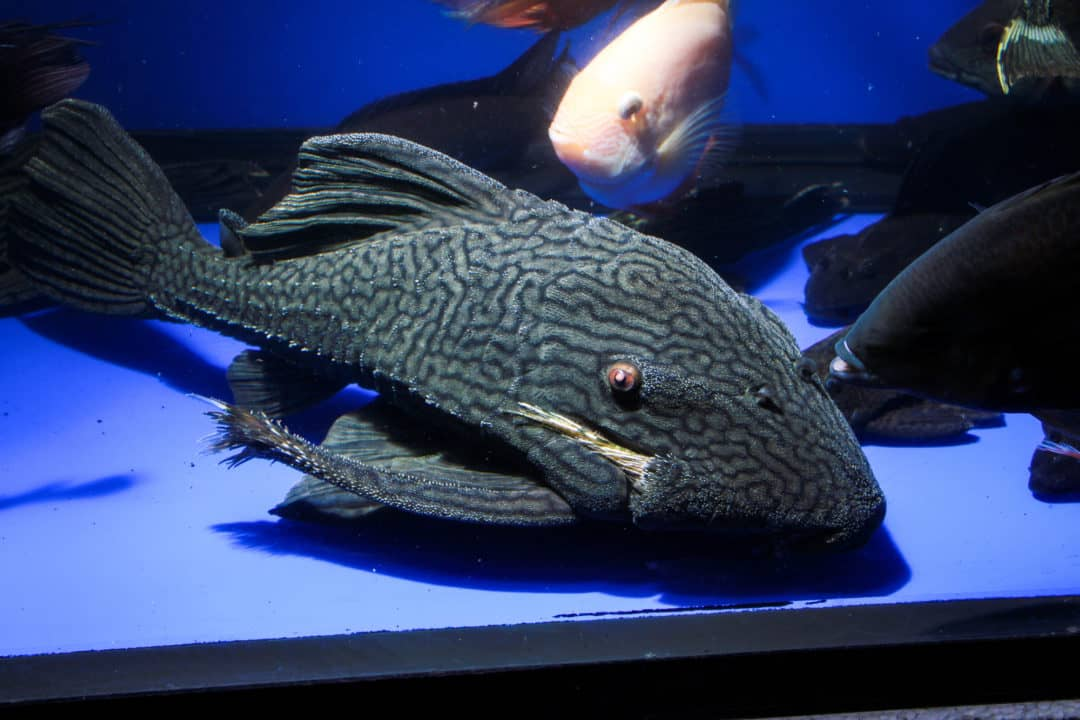 Royal Pleco Care Guide Tips