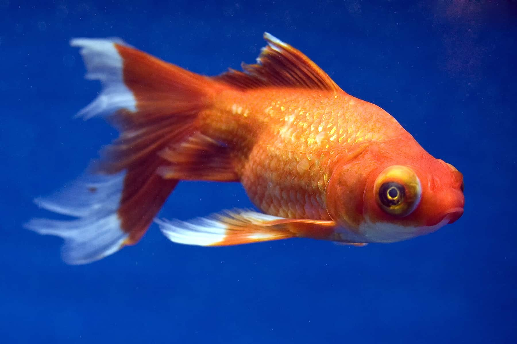Best Way To Care For A Telescope Goldfish