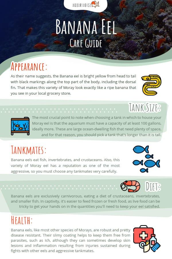 Banana Eel Care Guide