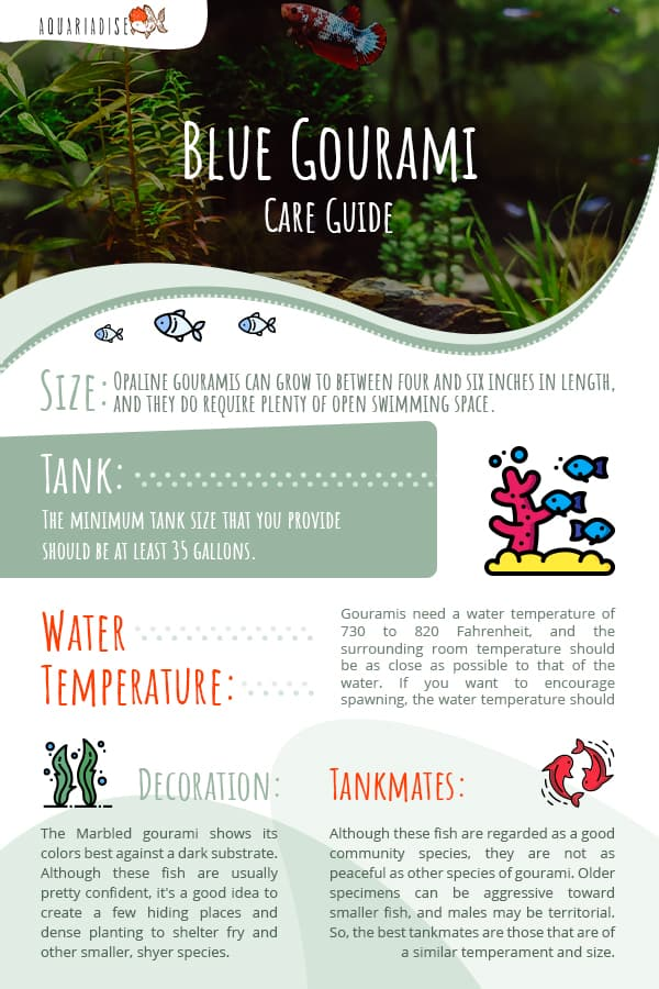 blue gourami care guide