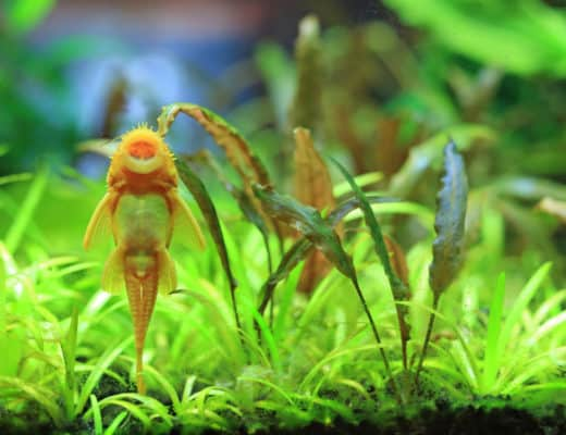 Albino Bristlenose Pleco: How To Care For This South American Species