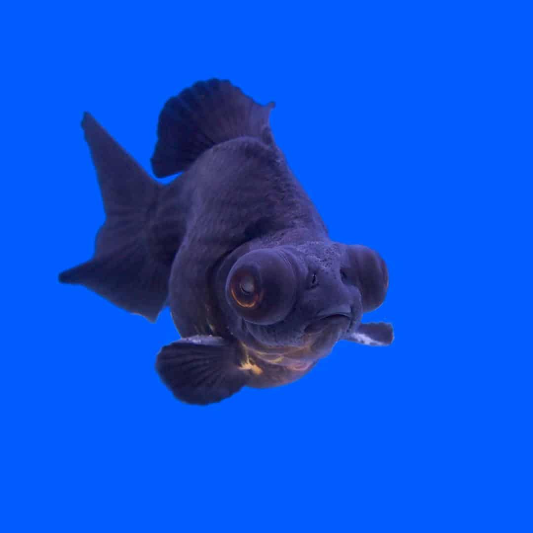 Black Moor Goldfish Care Guide