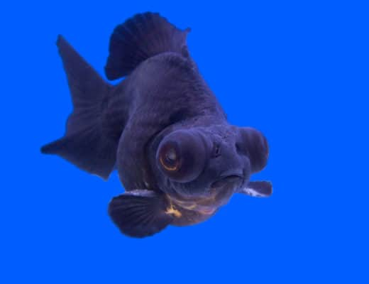 Black Moor Goldfish Care Guide