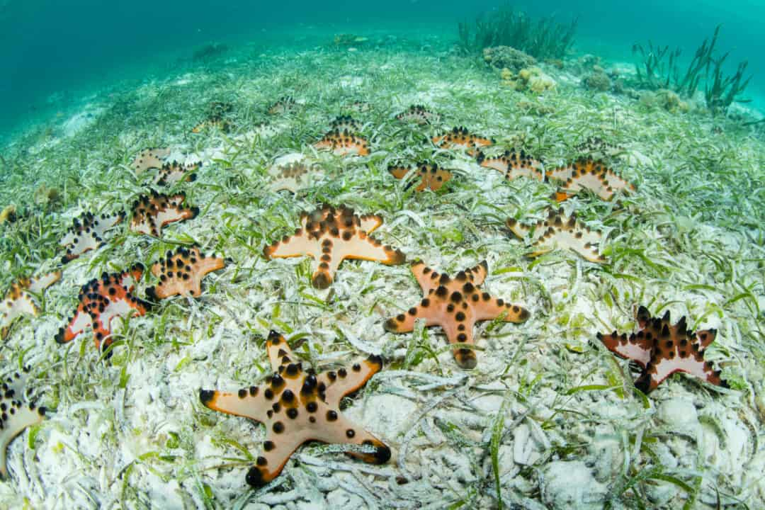 Chocolate Chip Starfish: Care Guide For The Spotted Species