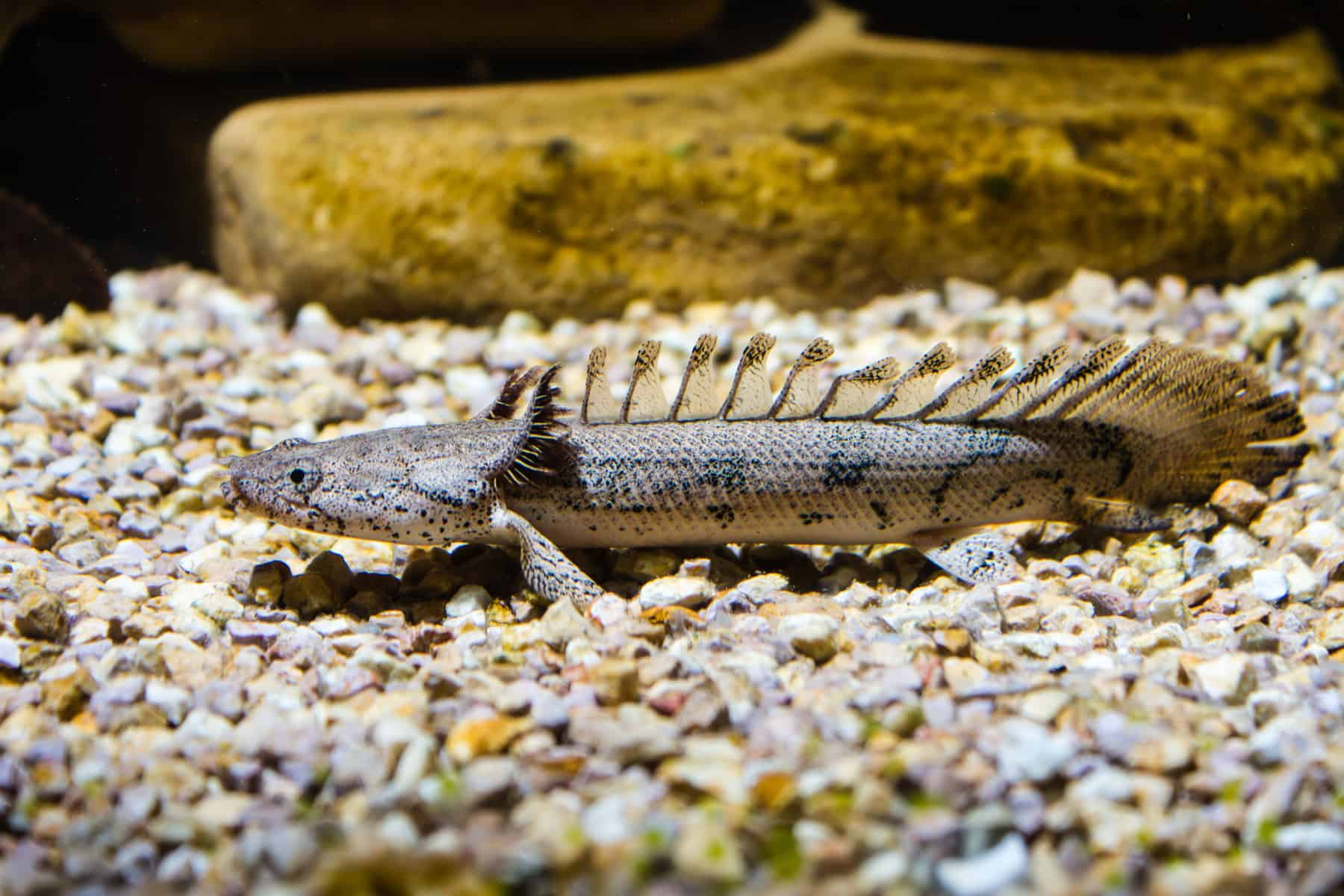 Dragon Bichir