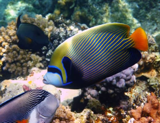 Care Sheet: Emperor Angelfish | Pomacanthus imperator