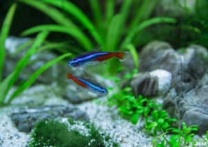 Green Neon Tetra: Guide To Caring For The Peaceful Fish