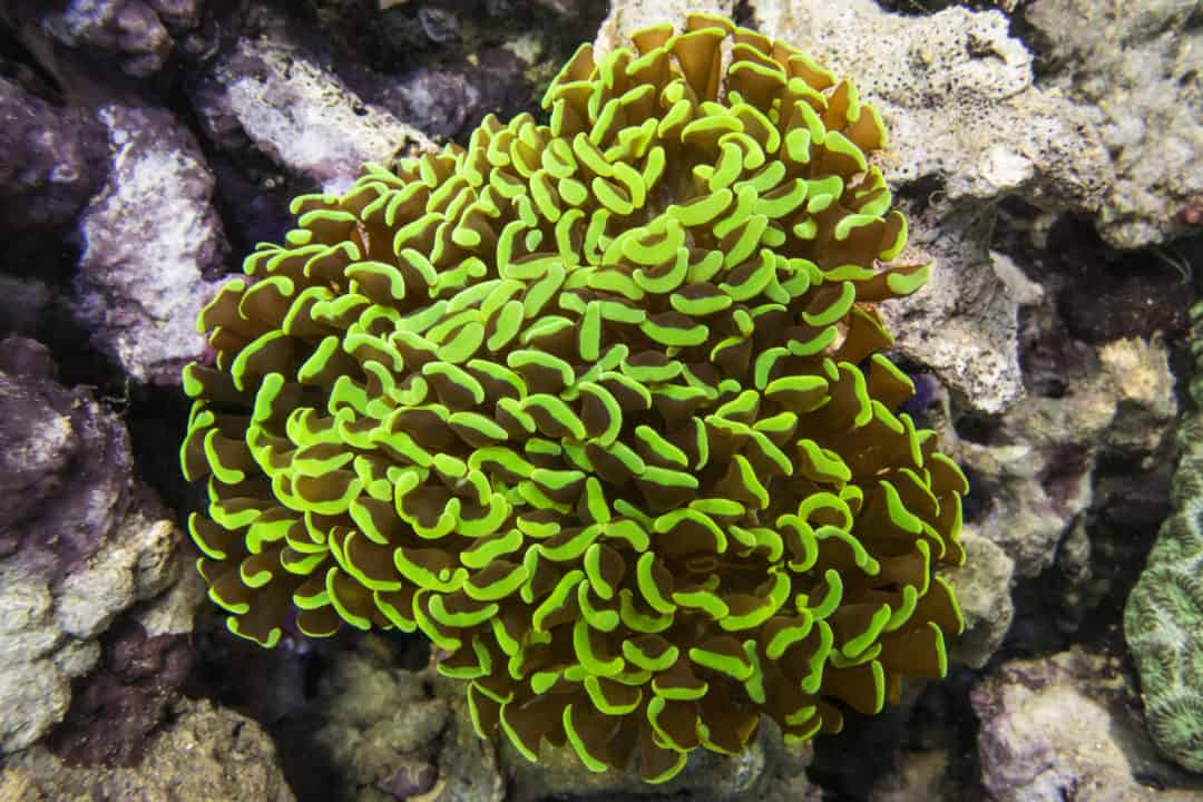 Hammer Coral : Plant Care Guide