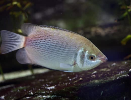 Kissing Gourami Care Guide