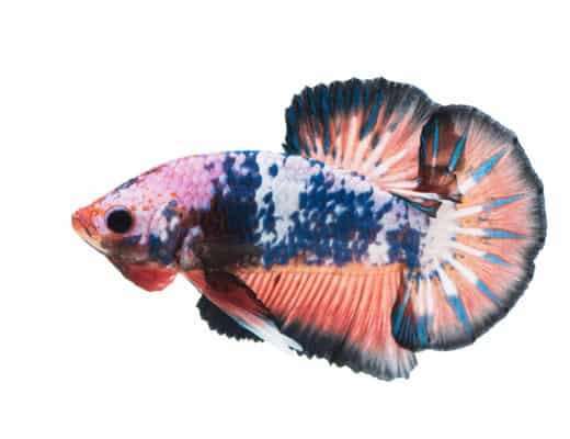 Ultimate Plakat Betta Care Guide For Aquarist