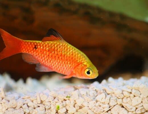 rosy barb at the bottom of aquarium