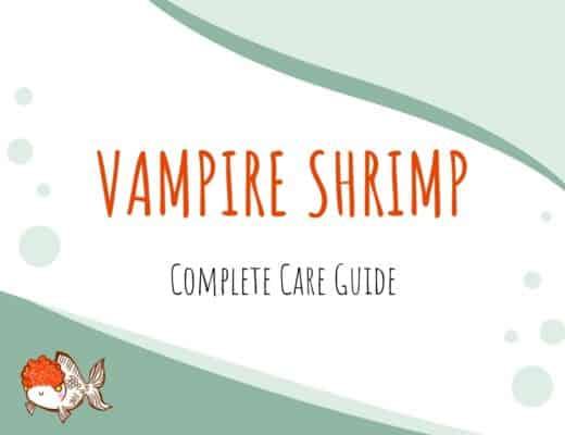 Vampire Shrimp Care Guide