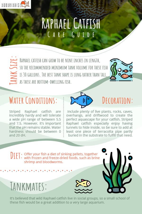 Raphael Catfish Care Guide