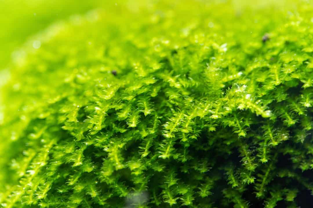Christmas Moss
