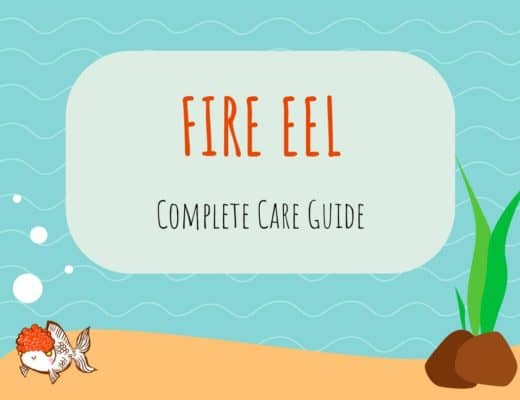 Fire Eel Care Guide