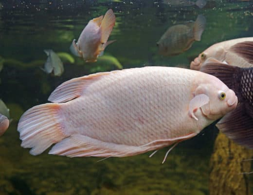 Giant Gourami Care Guide