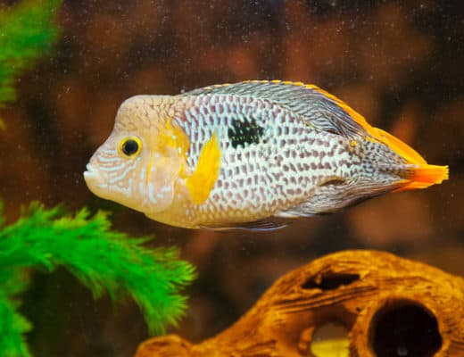Green Terror Cichlid Care Guide
