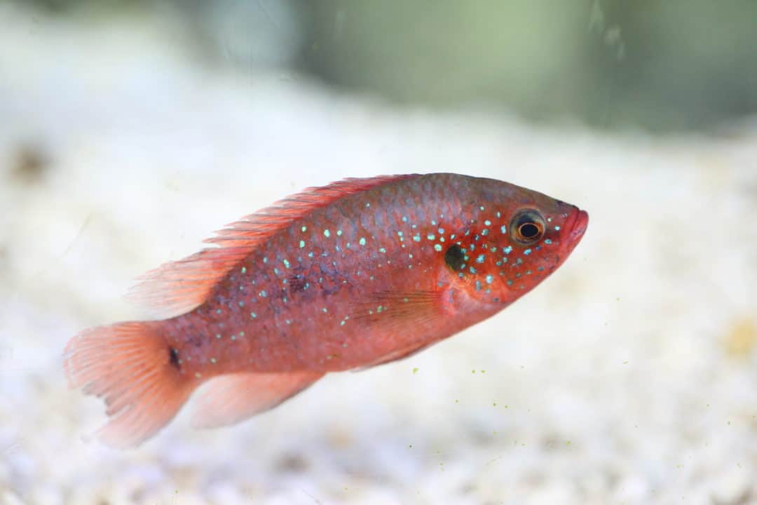 Jewel Cichlid Care Guide