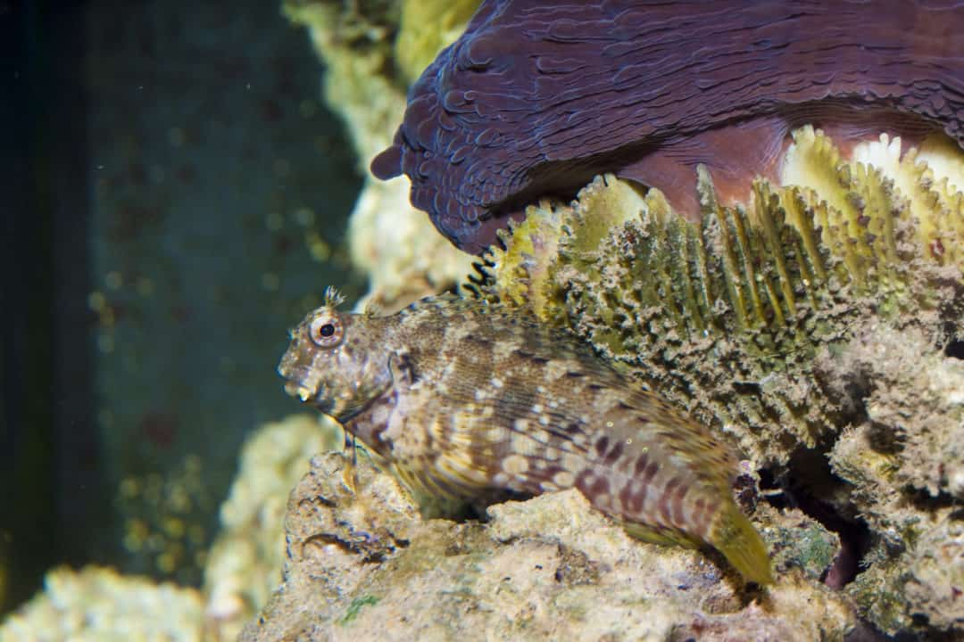 Lawnmower Blenny Care Guide