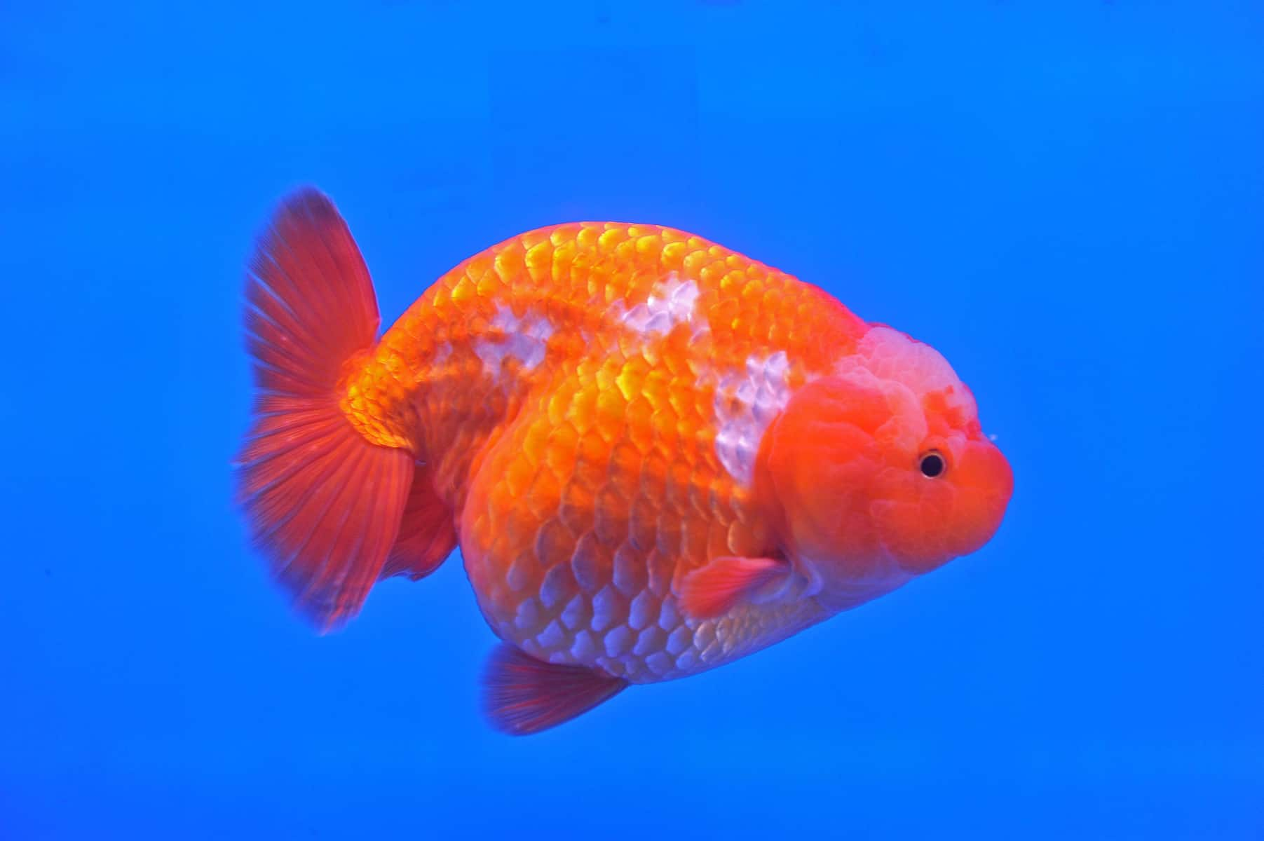 Lion Goldfish