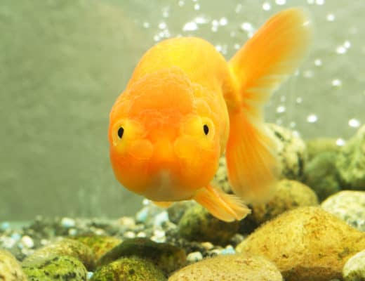 Lionhead Goldfish Care Guide