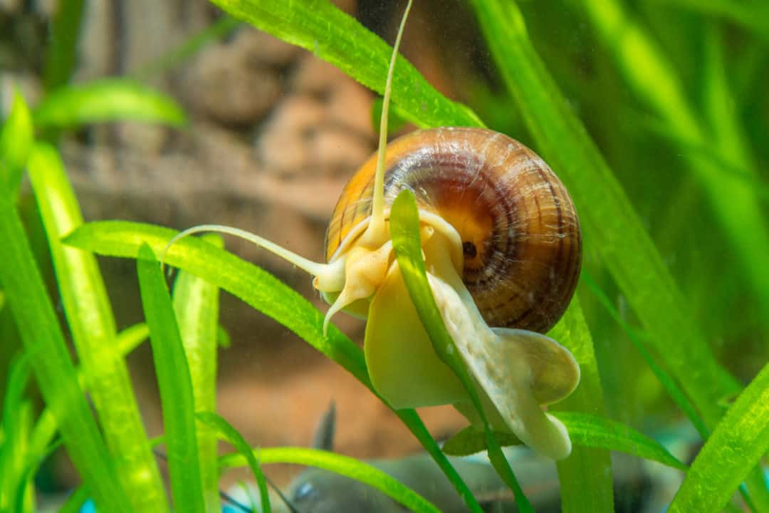 Mystery Snail Care Guide