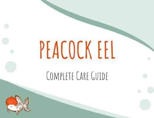 Peacock Eel Care Guide