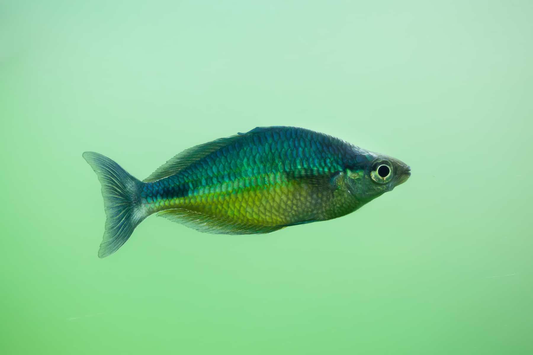 Rainbowfish Family