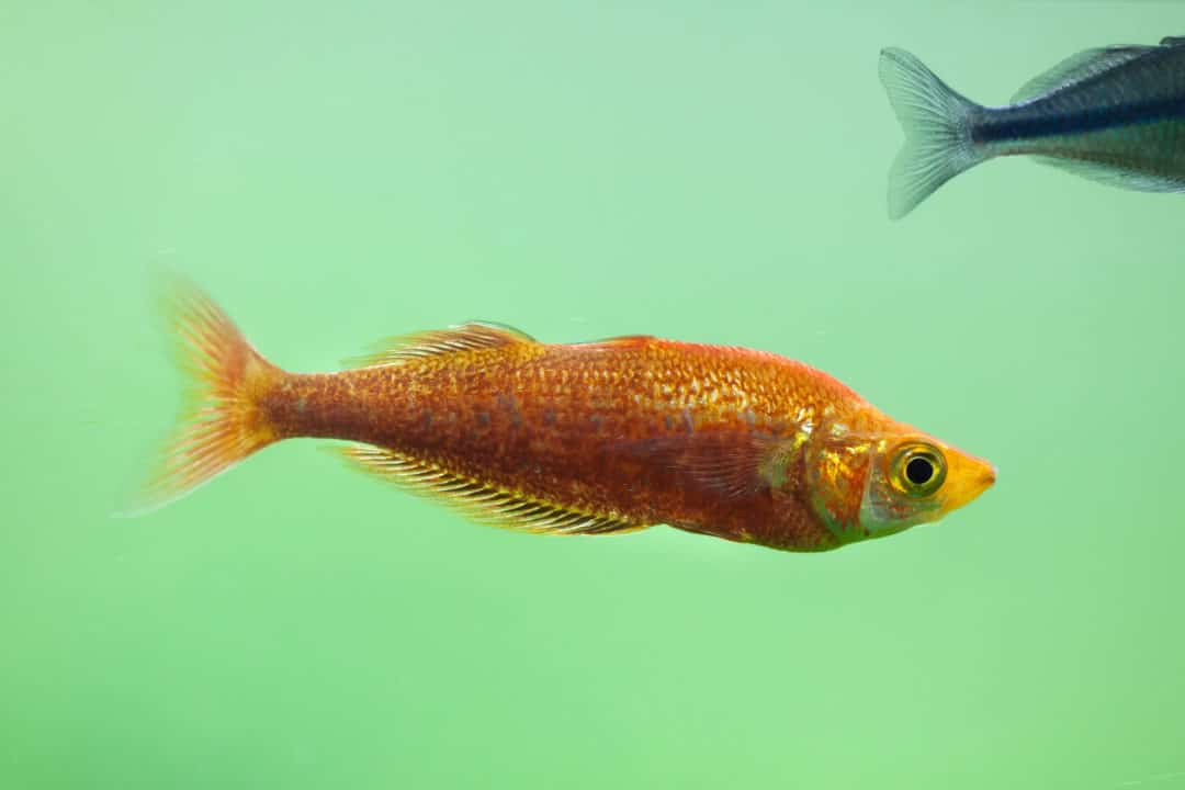 Red Rainbowfish Care Guide