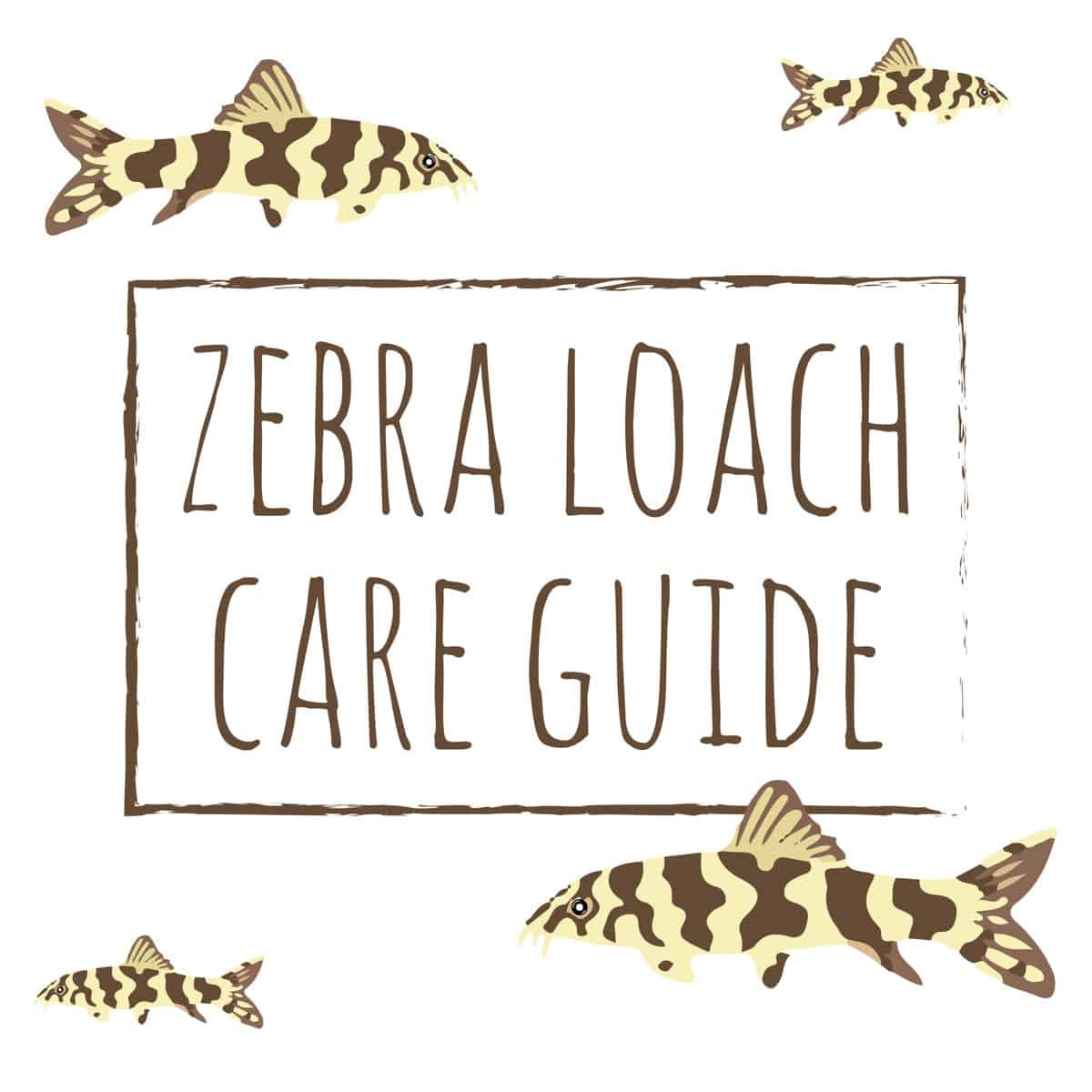 Zebra Loach Care Guide