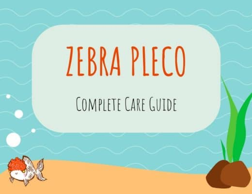 Zebra Pleco Care Guide
