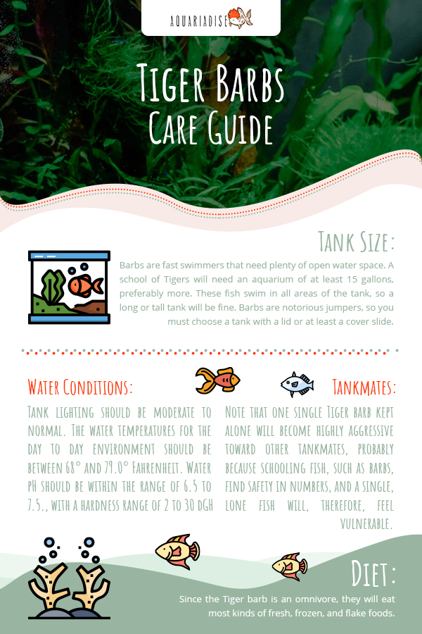 Tiger Barb Care Guide