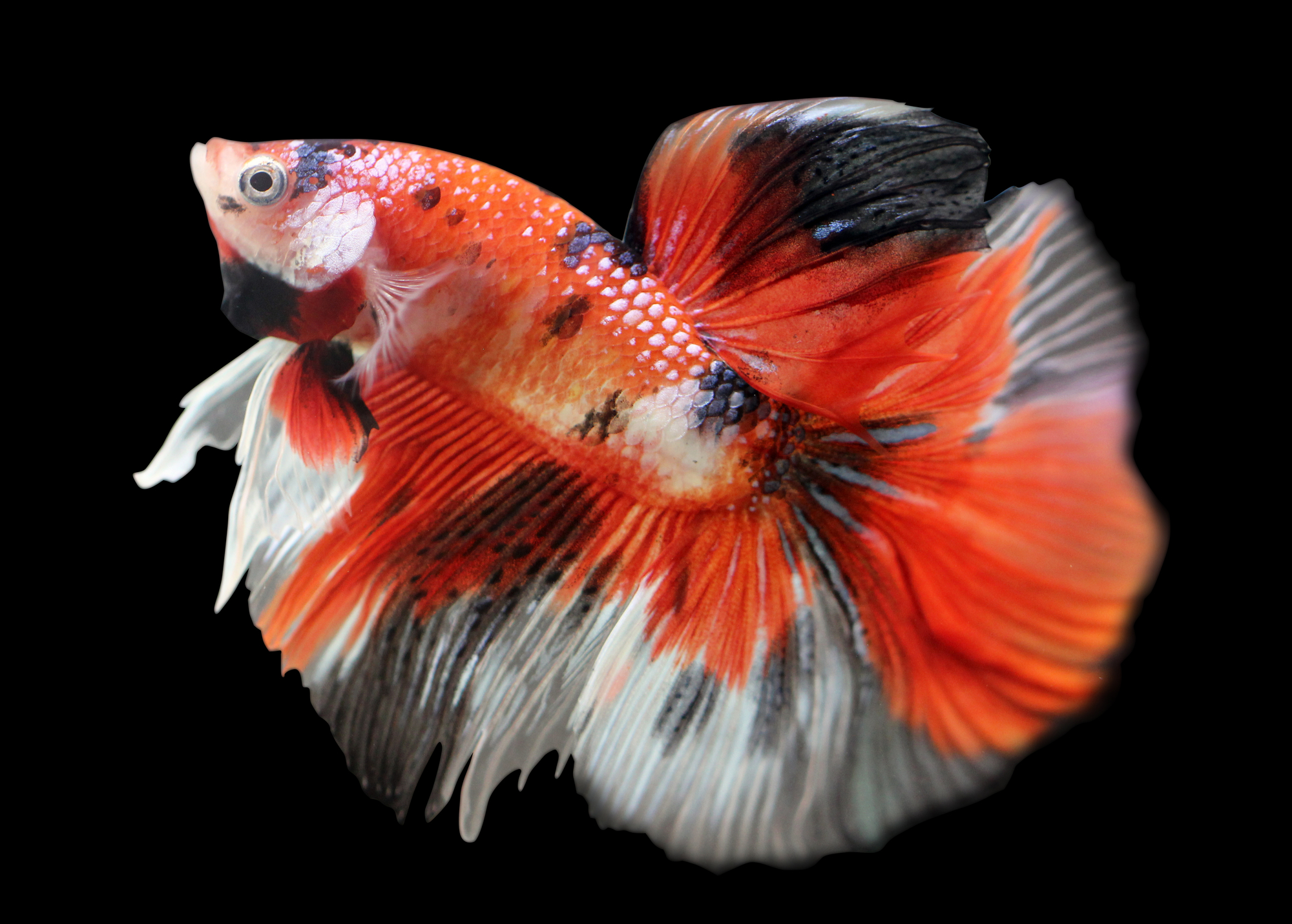 Koi Betta Fish