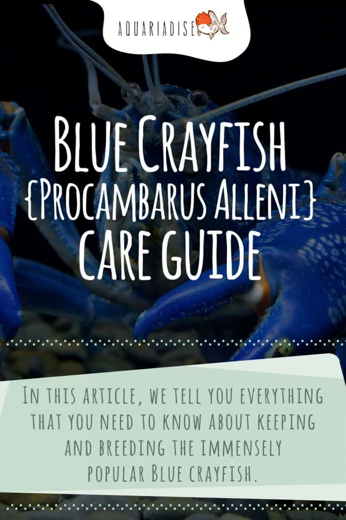 Blue Crayfish Care Guide