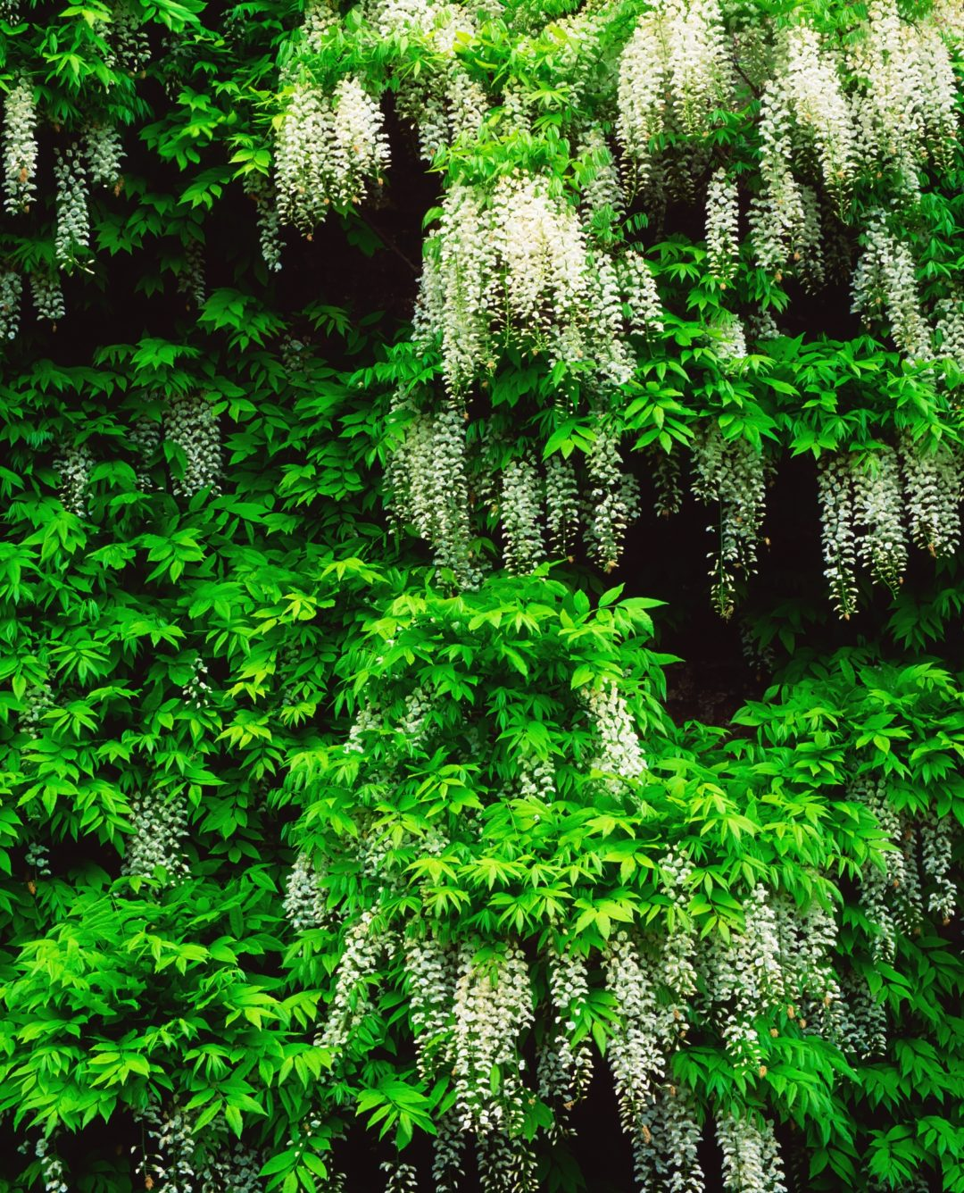 water wisteria