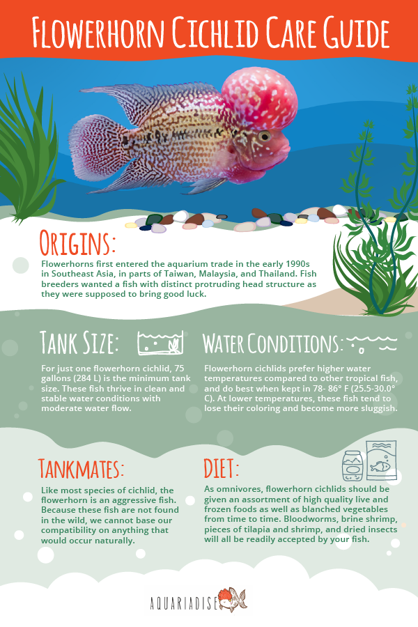 Flowerhorn Cichlid Care Guide
