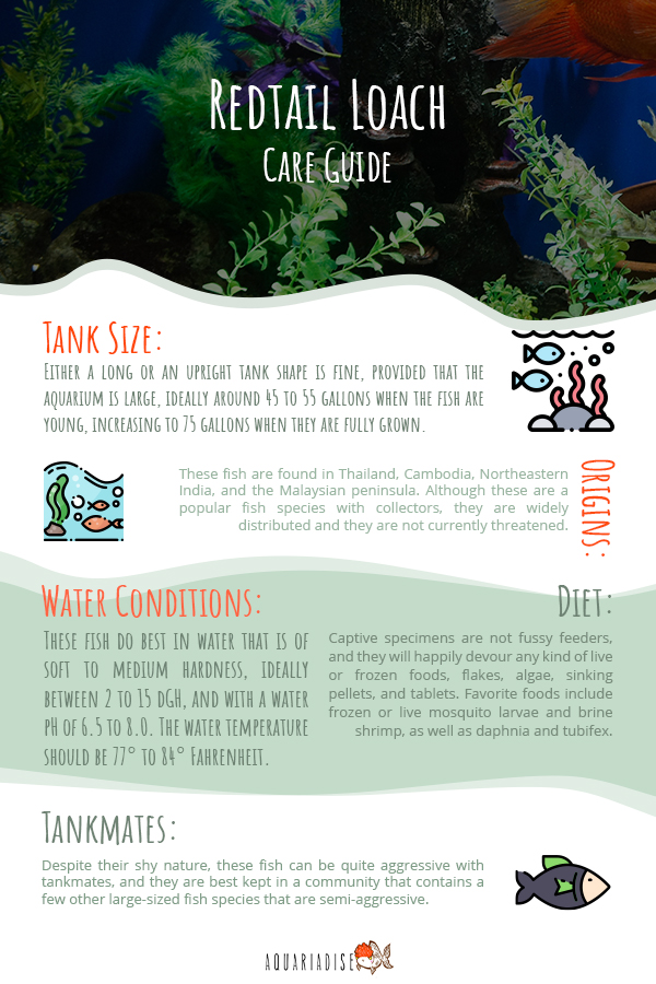 Redtail Loach Care Guide