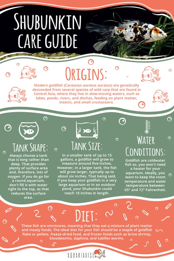 Shubunkin Care Guide