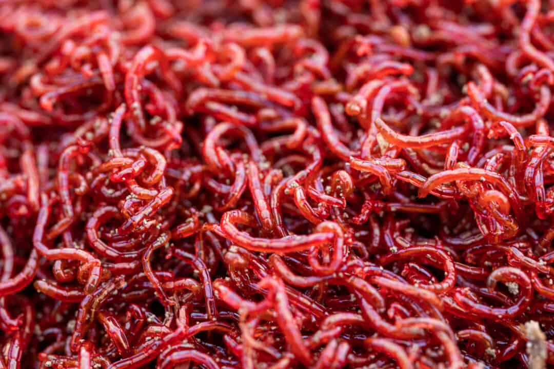 large amount of tiny bloodworms