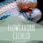 Flowerhorn Cichild Care Sheet