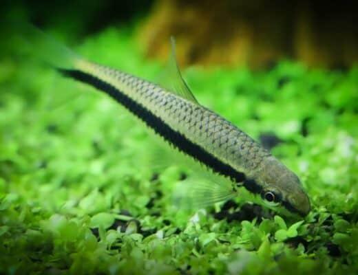 algae eater fish eating plants in aquarium