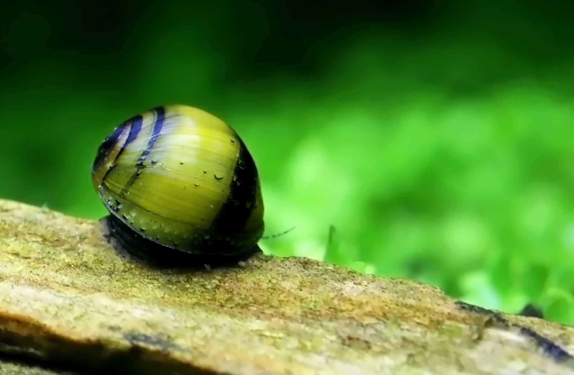 bumblebee snail in aquarium