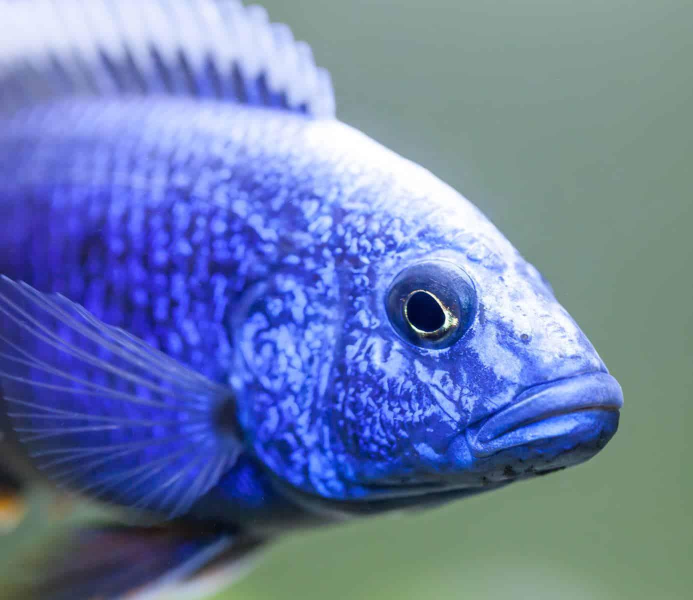 close up of electric blue hap cichlid