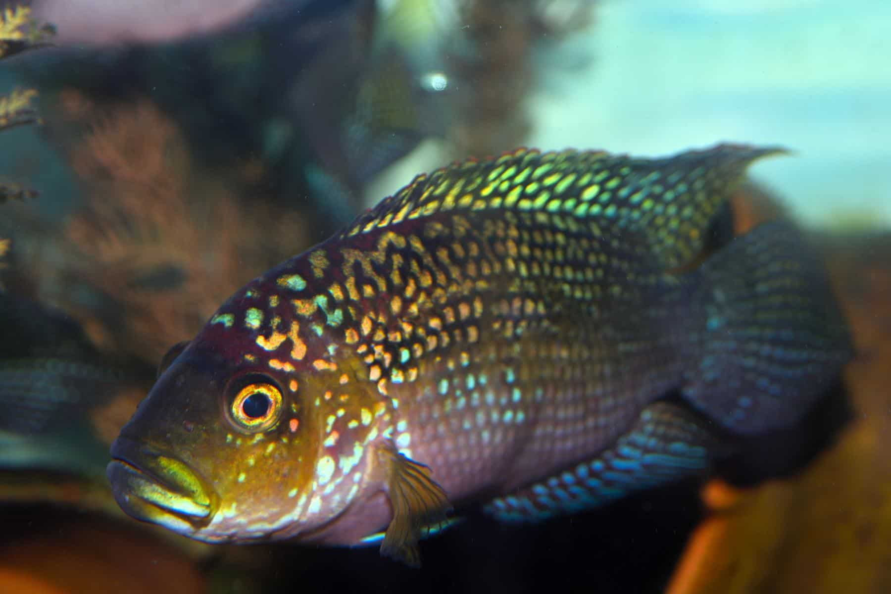 close up shot of jack dempsey fish in aquarium